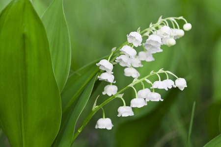 White flowers of a lily of the valley on a meadow