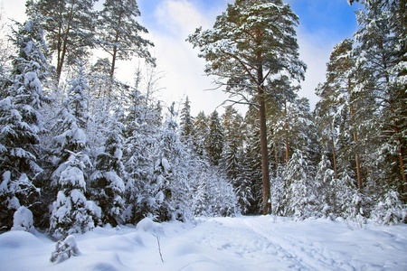 deep powder snow: Winter wood Stock Photo