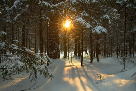Sunset in winter coniferous wood and a shade from trees Foto de archivo