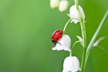The ladybird creeps on colors of a lily of the valley photo
