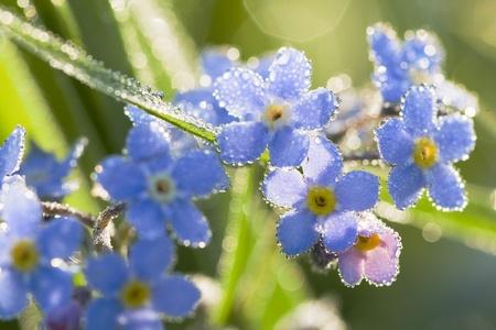 petites fleurs: Gouttes de fleurs bleues en été sur la rosée du pré  Banque d'images