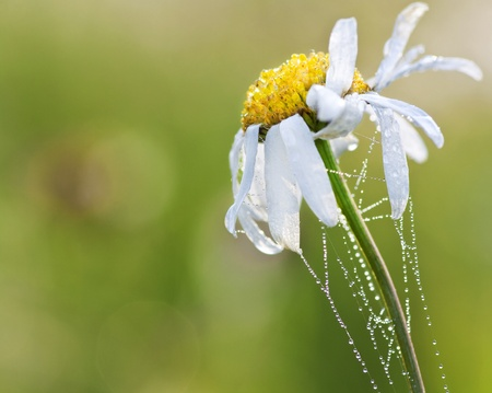 Flower of a daisy wheel with dew drops on a meadow Stock Photo - 9153297