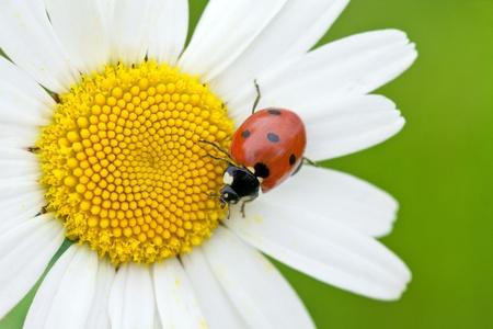 The ladybird creeps on a camomile flower