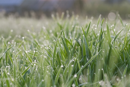 Green grass on a lawn with dew drops photo