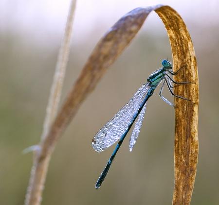 Dragonfly on a meadow in the morning in dew drops Foto de archivo