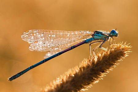 Dragonfly on a meadow in the morning in dew drops Фото со стока