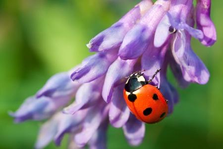 Ladybird on a flower photo