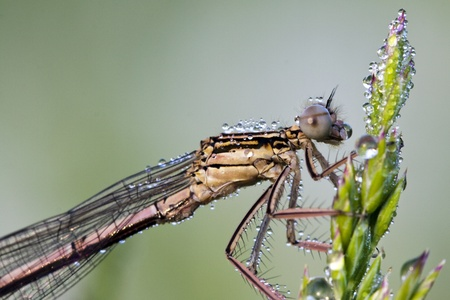 Dragonfly on a meadow in the morning in dew drops Stock Photo