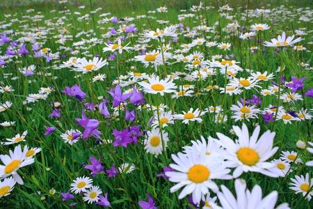 camomiles on a summer meadow 版權商用圖片 - 13495881