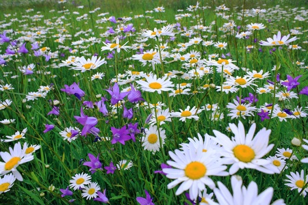 camomiles on a summer meadow