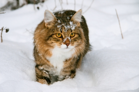 cat on snow in the winter 版權商用圖片 - 13451076