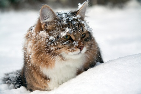 cat on snow in the winter