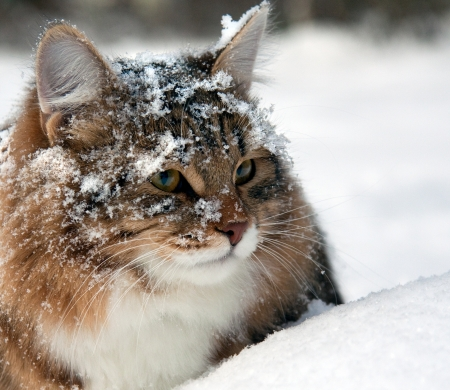 cat on snow in the winter photo