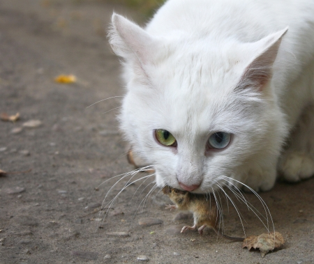 White cat has caught the mouse Stock Photo - 17669140