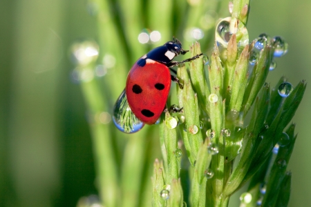 Ladybird in dew on a grass photo