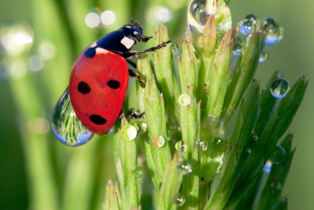 Ladybird in dew on a grass 版權商用圖片