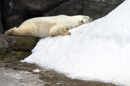 Sleeping polar bear photo