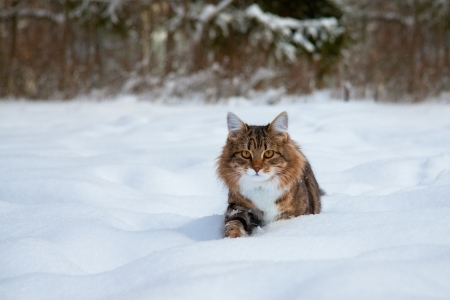 heap snow:  The beautiful fluffy cat sits in the winter in snow Stock Photo