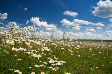 camomiles on a summer meadow photo