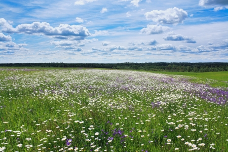 summer landscape with a blossoming meadow