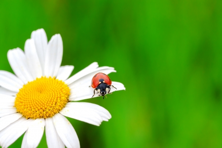 ladybug on a camomile flower photo