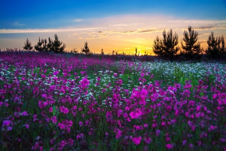 sunrise over a blossoming field Banque d'images