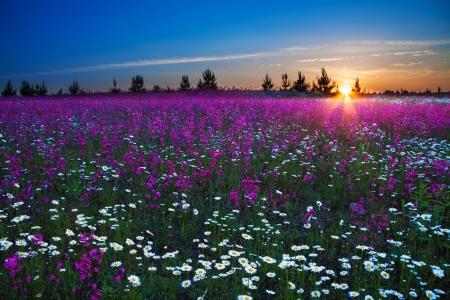 champ de fleurs: lever de soleil sur un champ de floraison