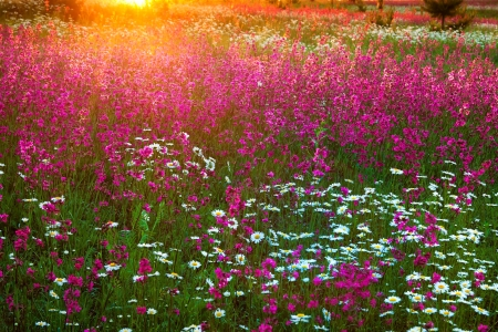 blossoming meadow in sun beams