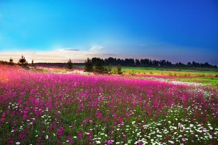 sunrise over a blossoming field Foto de archivo