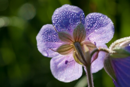 beautiful flower with dew drops on a meadow photo