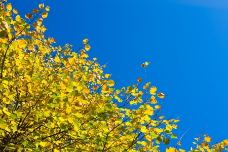 yellow autumn leaves against the blue sky photo