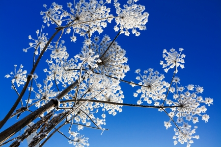 plant covered with snow against the blue sky photo