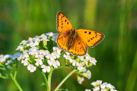 the beautiful butterfly sits on white flowers Banque d'images