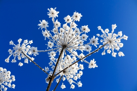 plant covered with snow against the blue sky Stock Photo