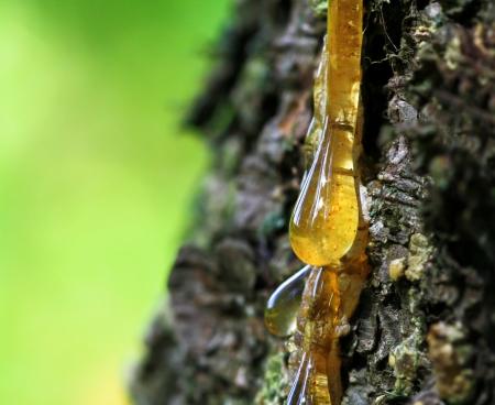 beautiful drop of resin on pine bark Banco de Imagens