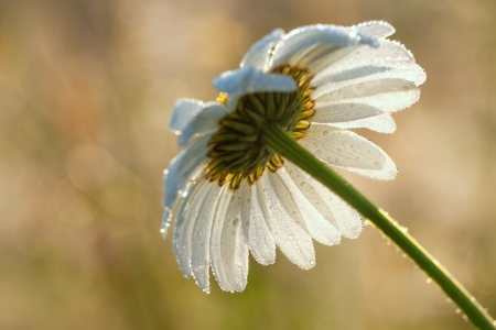 camomile on a meadow in dew drops photo