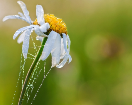 beautiful flower of a camomile entangled by a web photo