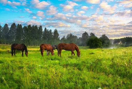 rural landscape with horses being grazed on a pasture 版權商用圖片 - 21526922