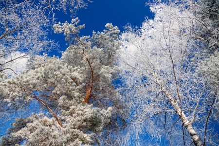 trees in the winter covered with snow against the blue sky photo