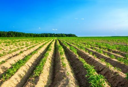 beautiful rural landscape with a potato field