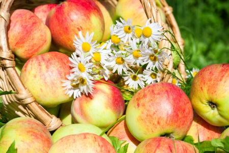 harvesting of red juicy ripe apples in the autumn photo