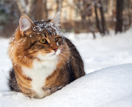 the beautiful cat on sits on snow Stock Photo