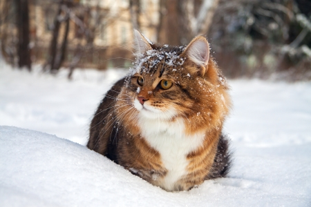 the beautiful cat on sits on snow Banque d'images