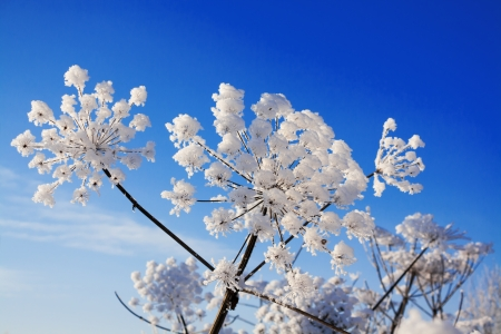 plant covered with snow against the blue sky Banque d'images