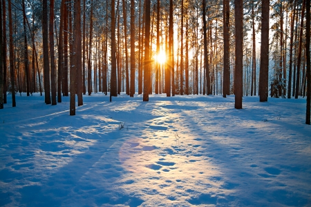 january sunrise: winter landscape with the pine forest and sunset