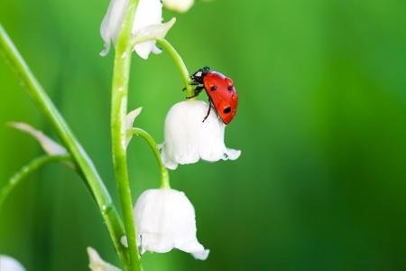 het lieveheersbeestje zit op een bloem van een lelie van de vallei