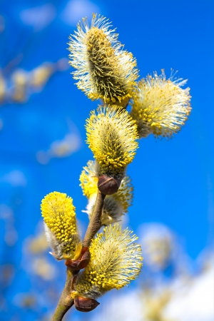 branches of a willow blossom in the spring against the blue sky Banque d'images
