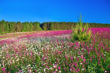 summer rural landscape with a blossoming field