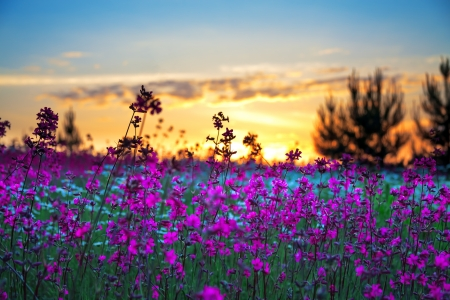 beautiful summer sunrise over a blossoming meadow Banque d'images
