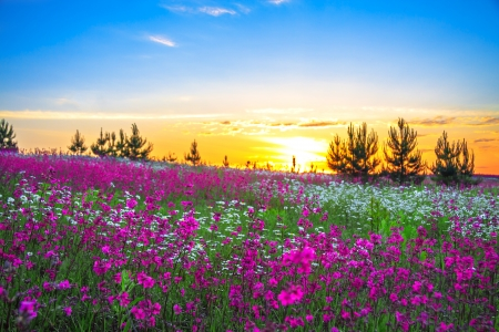 chamomile flower: beautiful summer sunrise over a blossoming meadow Stock Photo